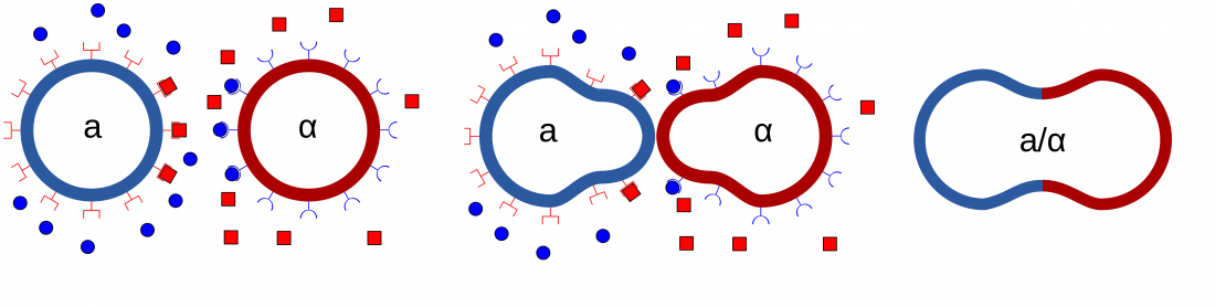 Le langage amoureux des cellules